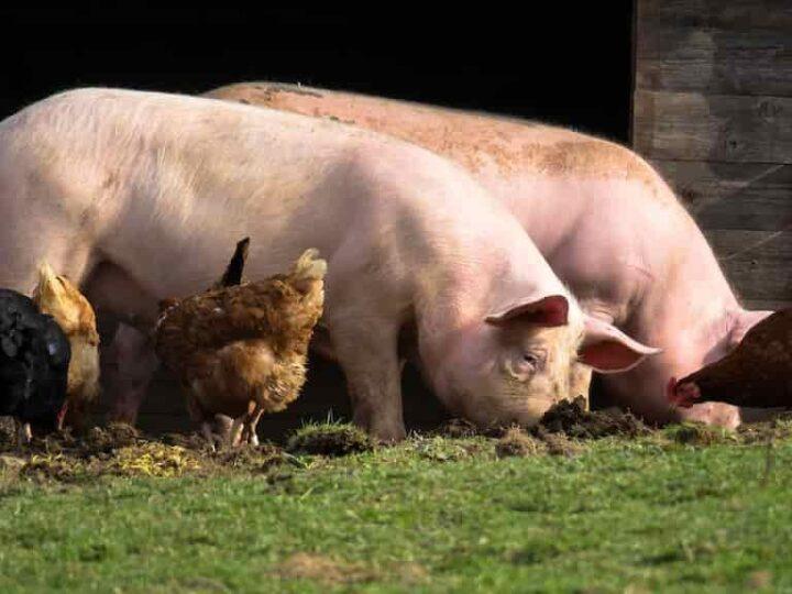 Возможность содержания  сельскохозяйственных животных на участке ИЖС